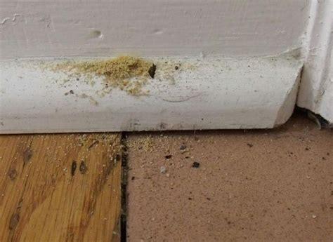 carpenter ant damage  baseboard carpenter ant