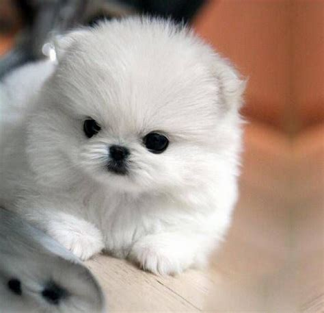 white pomeranian puppies pomeranian puppies a shameless quot aaaaahhhh quot post lazer