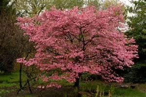 Flowering Dogwood Tree - tree identification cornus florida flowering dogwood