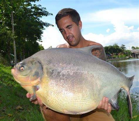 big fishes of the world pacu piaractus mesopotamicus