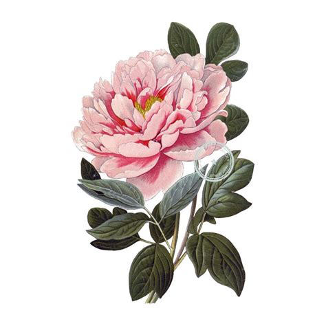 peony clipart tree peony clip vintage floral clipart botanical