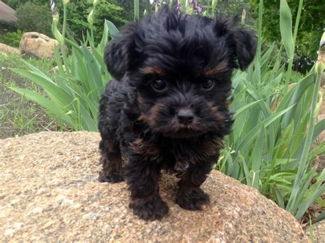 pictures yorkie poo puppies yorkie poo breed welcoming one into your family
