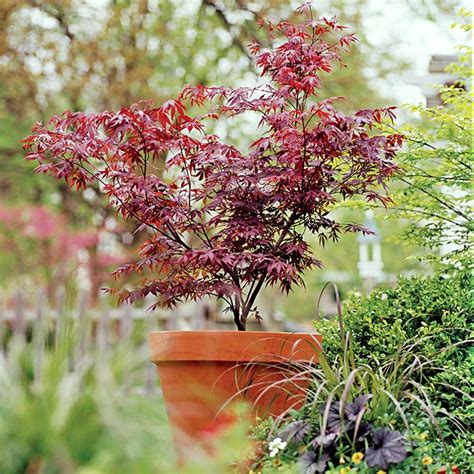 growth pattern of japanese maple grow a japanese maple in a pot