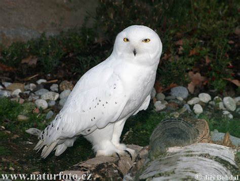 young snowy owl pictures young snowy owl images naturephoto