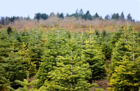 christmas tree places apple hill ca tree farm boa vista orchards