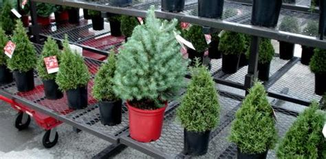 how to select and care for a live christmas tree today s