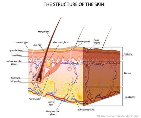 structure of the skin diagram labeled what is subcutaneous tissue