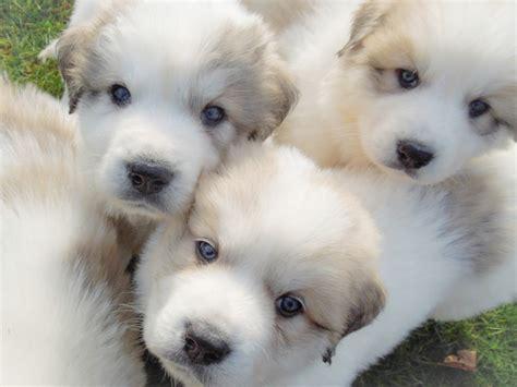 great pyrenees breeds puppies great pyrenees breeders