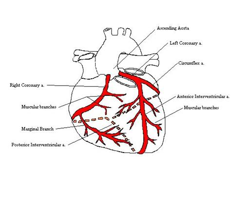 diagram of the arteries artery diagram new calendar template site