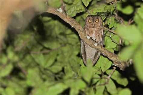 Sumpit Melamine Hitam Gading 27 Cm informasi tentang burung celepuk wallacea burung gue