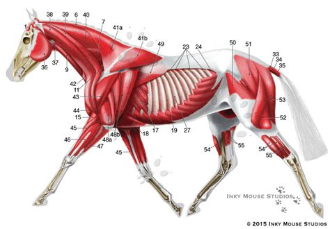 horses muscles diagram equine superficial musculature anatomy chart