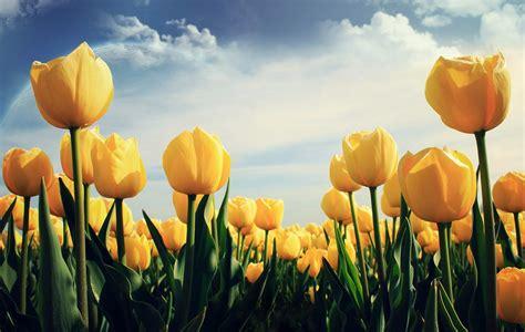 imagenes para fondo de pantalla de tulipanes fondo pantalla tulipanes fantasia