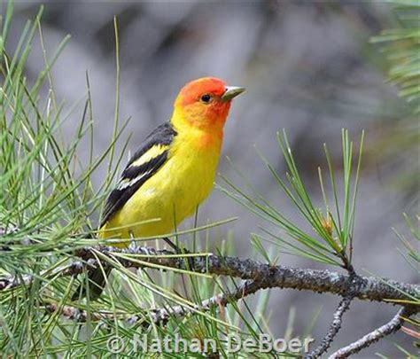 western tanager montana field guide