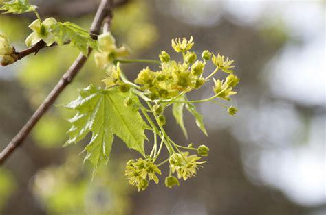 maple tree allergies prepare for the pollen vortex toronto