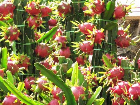 Bibit Buah Naga Merah Dalam Pot langkah cara tanam buah naga di dalam pot sistemhidroponik
