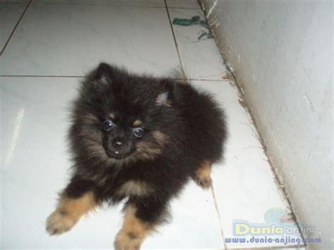 Pom Pom Warna Cur 15mm dunia anjing jual anjing pomeranian di jual supermini pom jantan warna black
