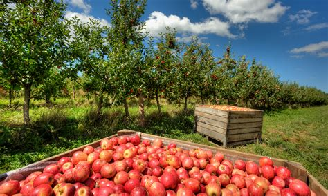 apple orchard best apple picking places near me fall apple orchard events