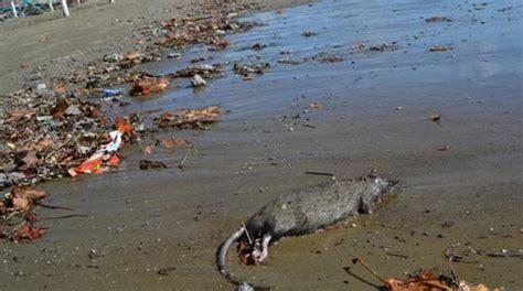 sulla spiaggia topi morti sulla spiaggia bagnanti in fuga