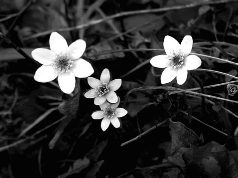wallpaper black and white flowers black and white flowers wallpaper 1024x768 51483