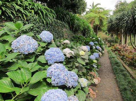 Tanaman Bunga Hortensia Blue Sky Gambar Alam Menanam Ungu Bunga Botani Biru Taman