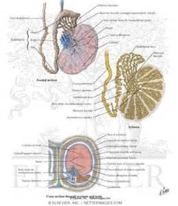 vas deferens anatomy testis epididymis and ductus deferens