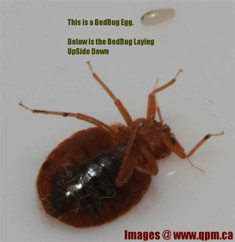scabies bed bugs scabies bug size www pixshark com images galleries