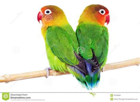 pair of lovebirds royalty free stock image image 16703556