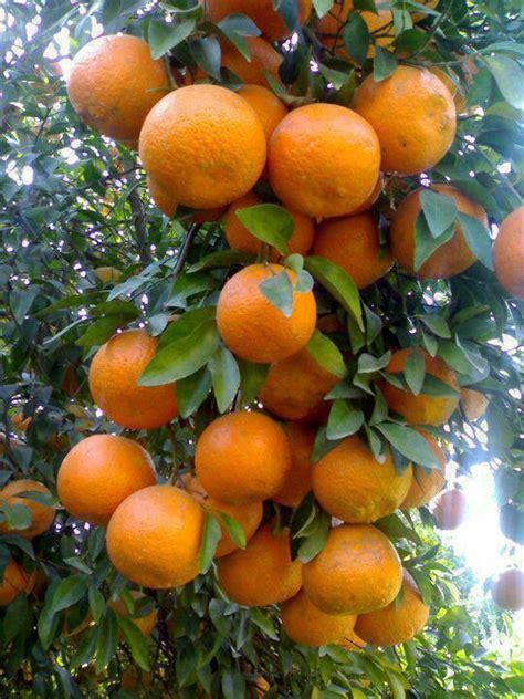 fruit x familia fam 237 lia rutaceae nome cient 237 fico citrus reticulata
