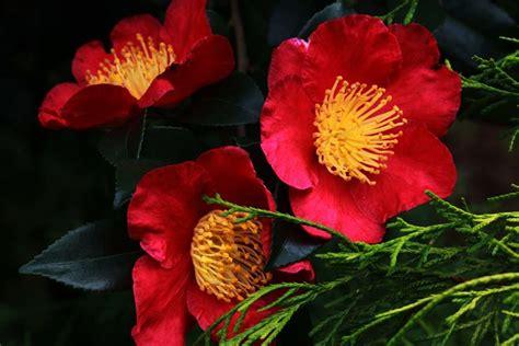 potatura camelia in vaso camelia sasanqua piante da giardino caratteristiche