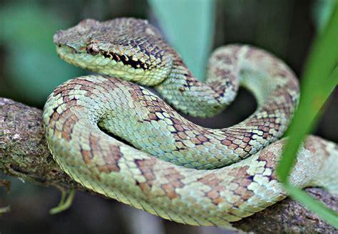 Garden Viper Snake Pics Of Pit Viper Snakes
