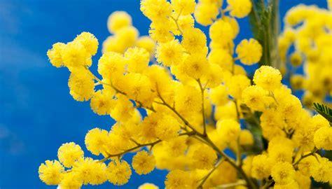 immagine di mimosa fiore i migliori trucchi per coltivare la mimosa anche in vaso