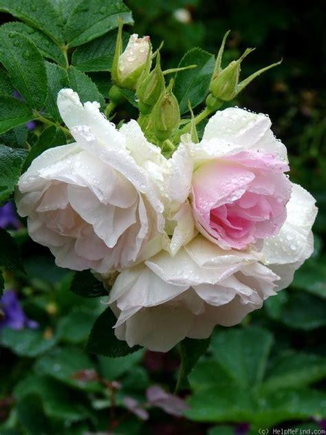 hybrid rugosa rose rosa polareis aka ritausma latvia