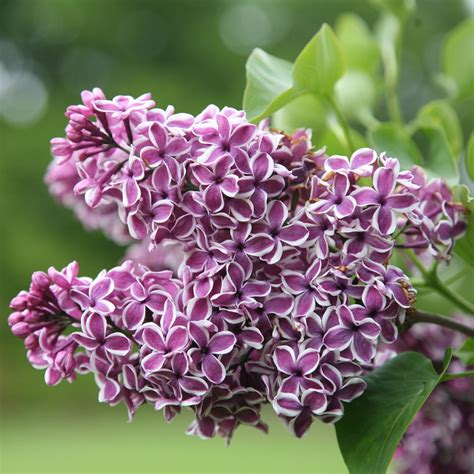 buy common lilac syringa vulgaris sensation delivery by