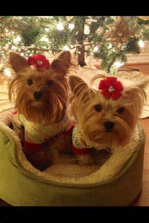 images of christmas yorkies christmas yorkies pets yorkie pinterest