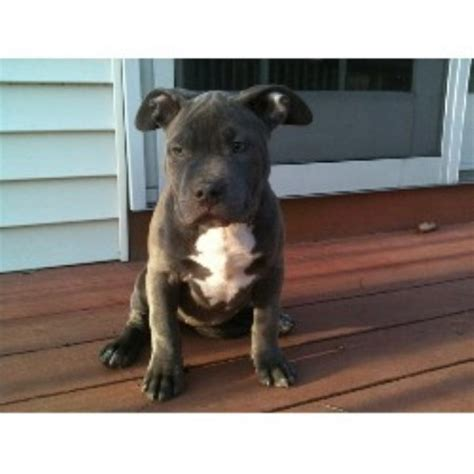 pitbull puppies for sale in nh elite k 9 kennels american pit bull terrier breeder in derry new hshire