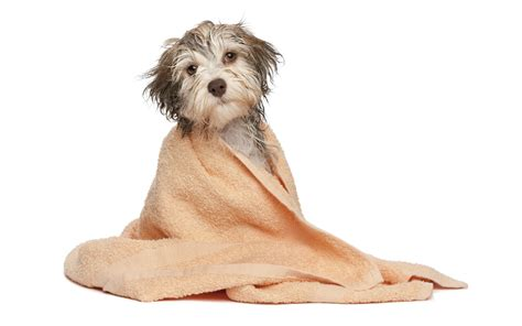 How Does A Puppy To Be To Shower by 5 Pet Grooming Tips For Your