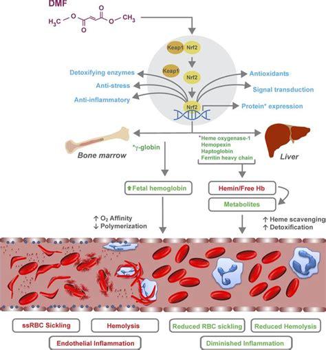 What Helps Detox Cells by Jci Insight Dimethyl Fumarate Increases Fetal Hemoglobin