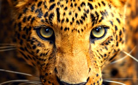 Imagenes De Ojos De Jaguar | abundancia amor y plenitud los nueve tesoros del jaguar