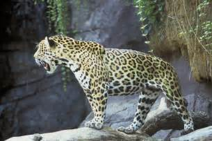 Pic Of Jaguar File Jaguar Animal Panthera Onca Jpg