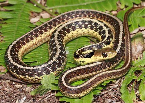 Garter Snake Michigan Eastern Garter Snake Flickr Photo