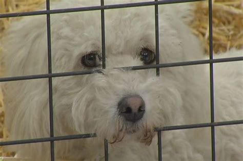 ct rescue dogs fluffy adoption this weekend nbc connecticut
