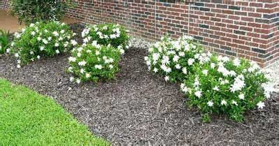 frost proof gardenia shrub plants gardenia shrub