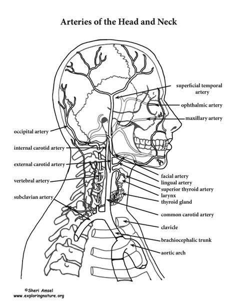 Arteries Of The And Neck Advanced