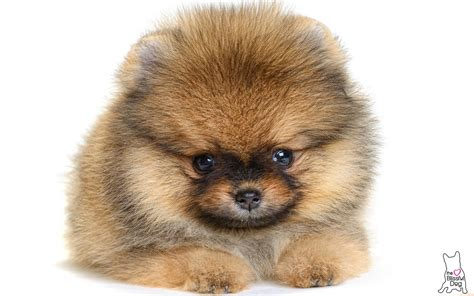 pomeranian puppy care gentle touch pomeranian puppy soap all unscented soap