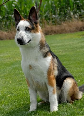 panda german shepherd puppies 36 dogs with the most beautiful and unique coat patterns on the planet