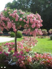 Patio Tree Rose French Rose Tree Unique Garden Ideas Pinterest