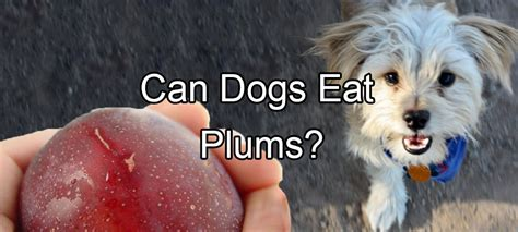 can dogs eat plums elizabeth pethority dogs