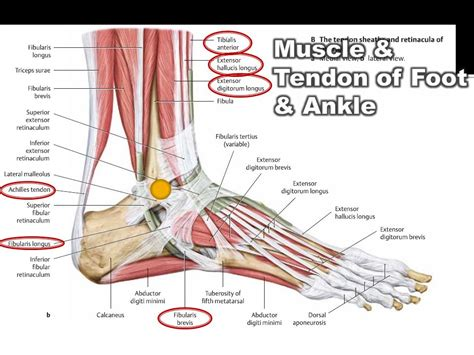 Anatomy of the Foot and Ankle - ppt video online download Foot Arch Muscles