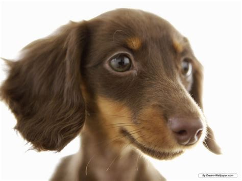 free miniature dachshund puppies 404 page not found