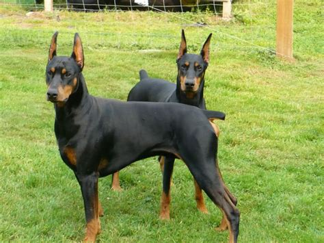78 best doberman images on dobermans doberman